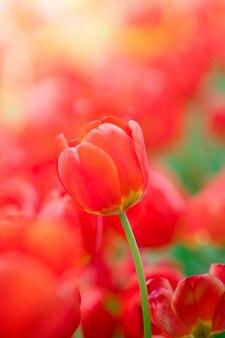 赤いチューリップの美しい景色。チューリップの花の牧草地。チューリップのクローズアップ