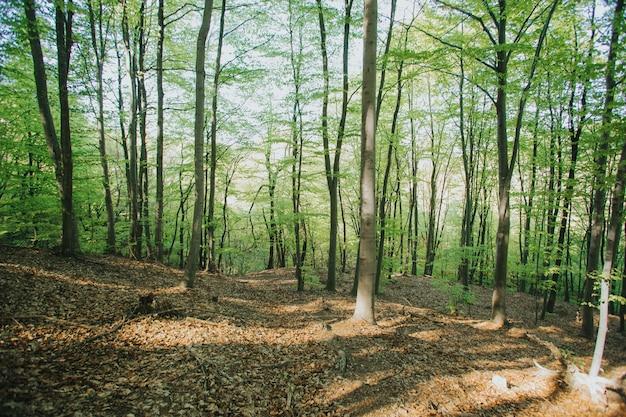 日光の下で森の中の背の高い木の美しい景色