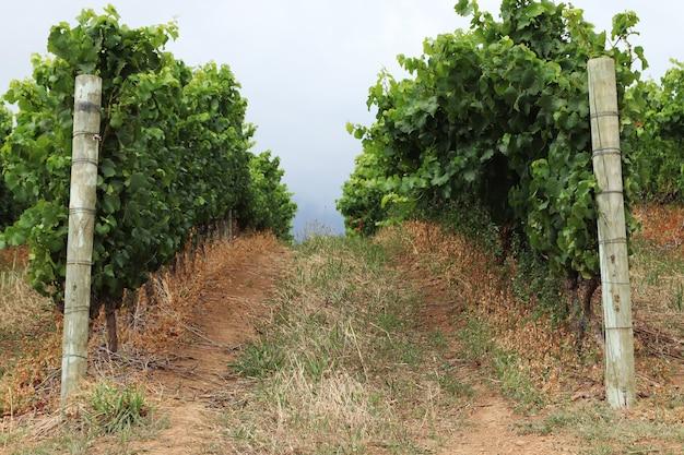 Прекрасный вид на виноградные лозы в винограднике, снятый в пасмурную погоду.