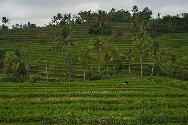 Прекрасный вид на рисовые поля на бали, индонезия