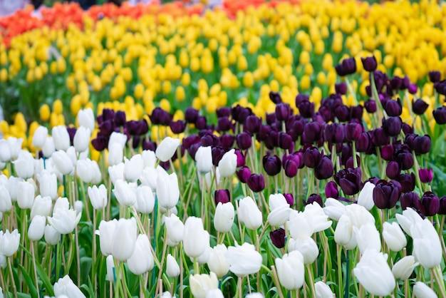 チューリップの美しい景色。チューリップの花の牧草地。チューリップガーデン。色とりどりのチューリップのグループ。