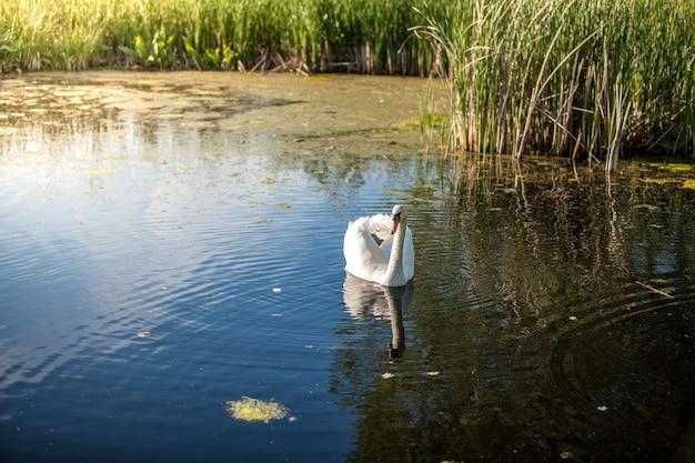 夕暮れ時の湖で泳ぐ白鳥の美しい景色