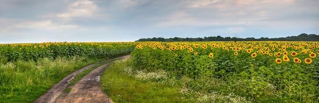 Прекрасный вид на поле подсолнечника с небом и грязной дорогой