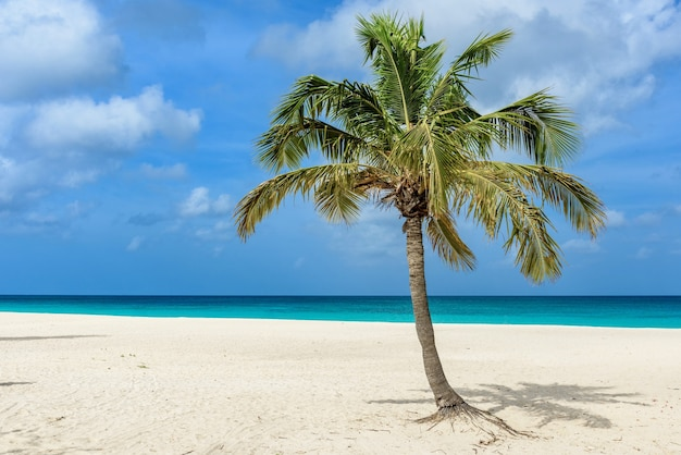 Beautiful view of a palm tree on the idyllic white sand of eagle beach in aruba
