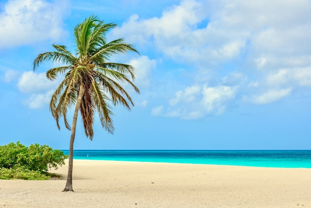 Splendida vista di una palma sull'idilliaca sabbia bianca di eagle beach ad aruba