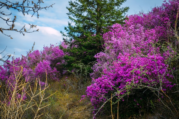 Beautiful view of pink rhododendron flowers blooming on mountain slope with green trees and blue cloudy sky. beauty of nature concept.
