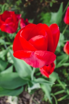 Beautiful view of the red tulip flowers in the garden