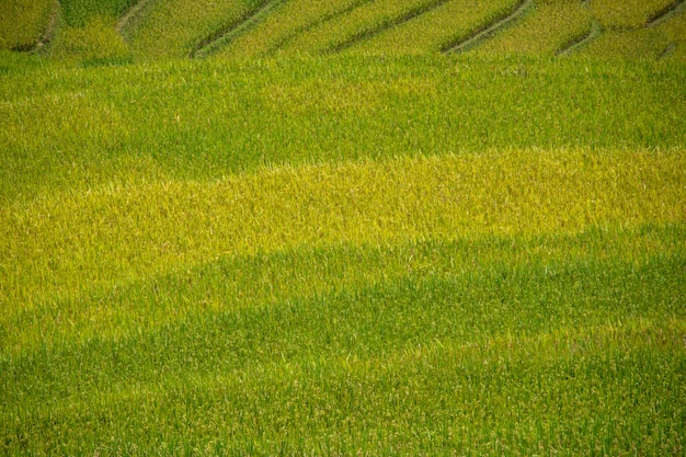 Beautiful view of rice terrace in mu cang chai, vietnam, farmer implant on high mountain.