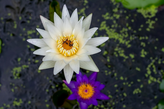 Beautiful view of single lotus in a water with leaves-top view