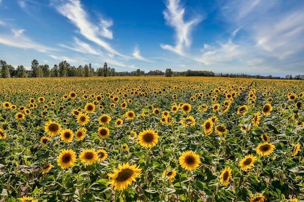 Beautiful view on sunflower field landscape