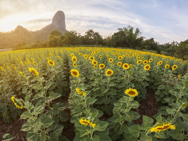 Beautiful view of sunflower field with mountain background on sunset