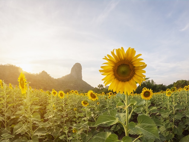 Beautiful view of sunflower field with moutain background on sunset.