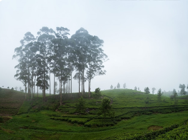 Beautiful view on tea plantation