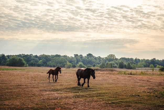 Beautiful view of two black horses running on a field under the cloudy sky