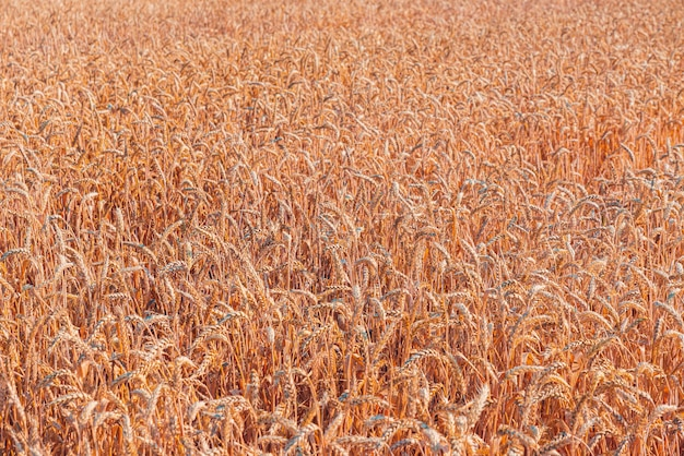 Bella vista di un campo di grano