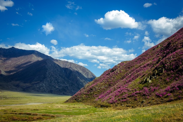 Beautiful view with pink rhododendrons on the hillside