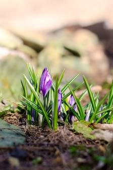 아름 다운 보라색 크로커스 꽃입니다. 봄 계절 동화 배경입니다. 부활절 인사말 카드의 계절 벽지에 좋습니다.
