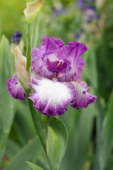 Beautiful violet fleur de lis flower, iris blooming in the garden.