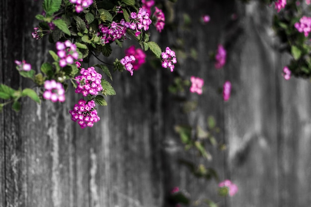 Beautiful violet floral blossom spring summer on wooden blurt background of nature
