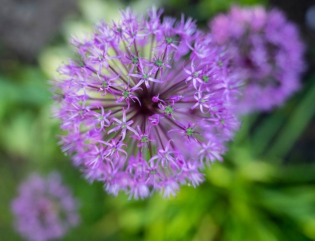 정원에 있는 알리움 플라투넨세의 아름다운 보라색 꽃