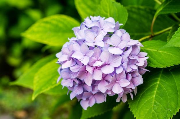Красивый фиолетовый конец гортензии или цветка гортензии вверх.