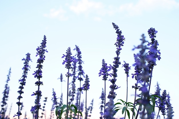 Beautiful violet lavender flowers with blue sky background.  selective focus.