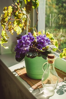 Beautiful violet in a pot on the windowsill
