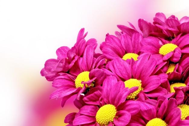 美しい紫の赤いダリアの花。