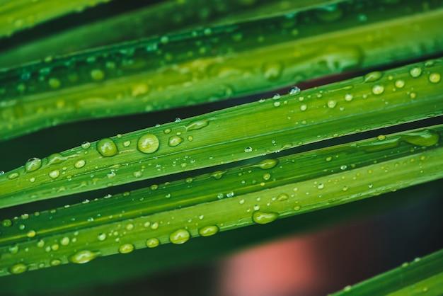 Beautiful vivid green grass with dew drops closeup.