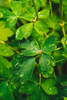 Beautiful vivid green leaves of aquilegia with dew drops.