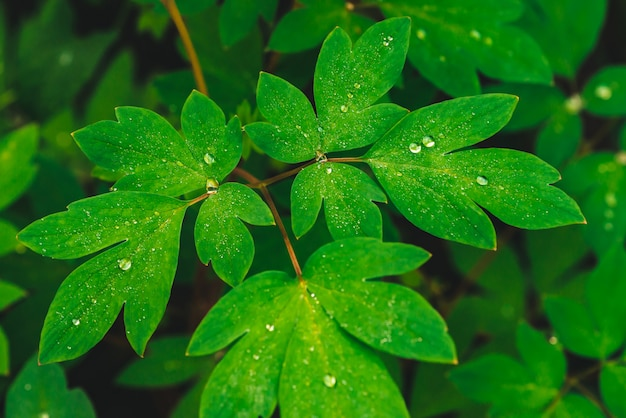 Beautiful vivid green leaves of dicentra with dew drops  .