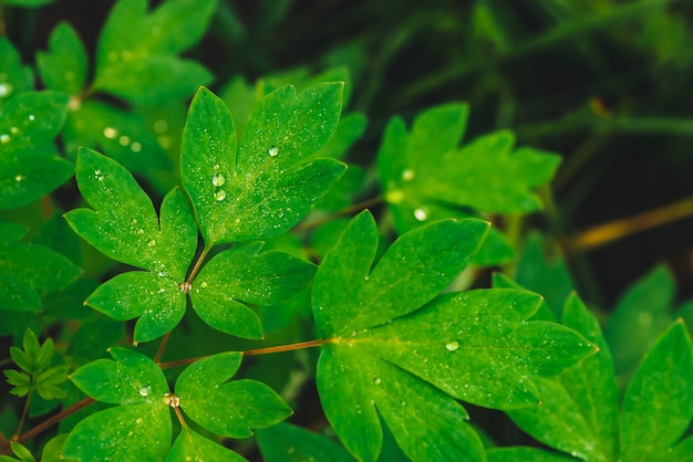 Beautiful vivid green leaves of dicentra with dew drops.