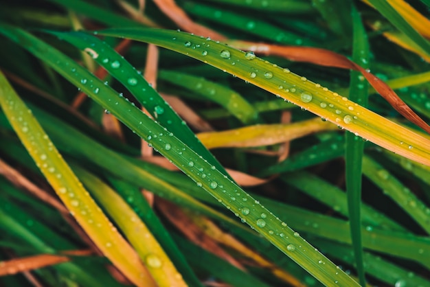 Beautiful vivid shiny green and yellowed grass with dew drops close-up with copy space.