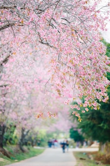 Beautiful walkway under the sakura or cherry blossom tree blooming , chiag mai