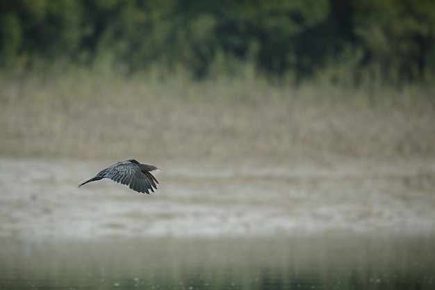 サンダーバン国立公園のマングローブに生息する美しい水鳥