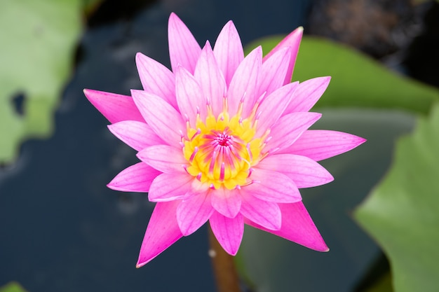 Beautiful water lily bloom in pond