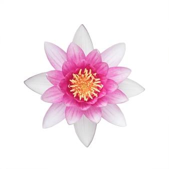 白い背景で隔離の美しい睡蓮の花。水生植物。