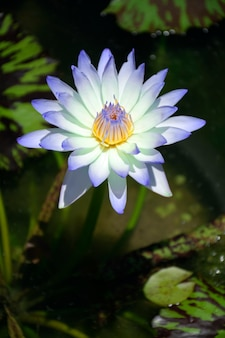 Beautiful water lily flower with leaves