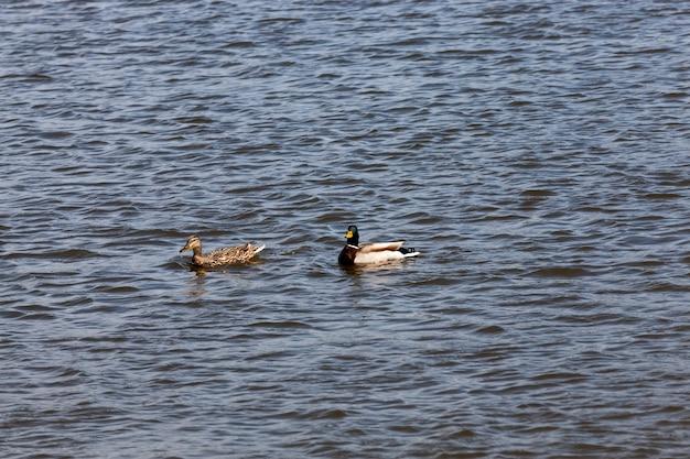 Красивые утки водоплавающих птиц весной или летом