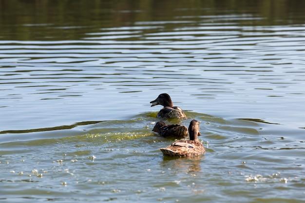 물 속에 있는 아름다운 물새 오리, 호수나 강 물에 떠 있는 야생 오리, 호수에 떠 있는 야생 오리