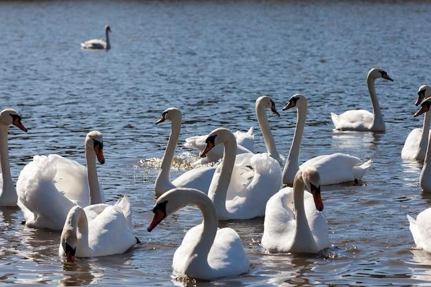 봄에 호수에 아름다운 물새 그룹 백조 새