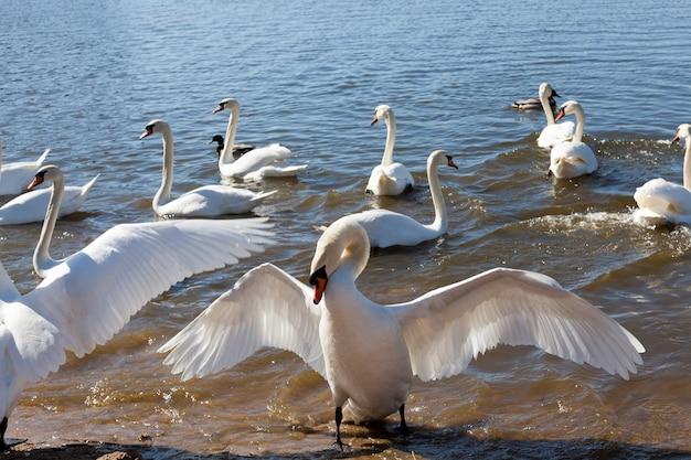 Beautiful waterfowl swan on the lake in the spring