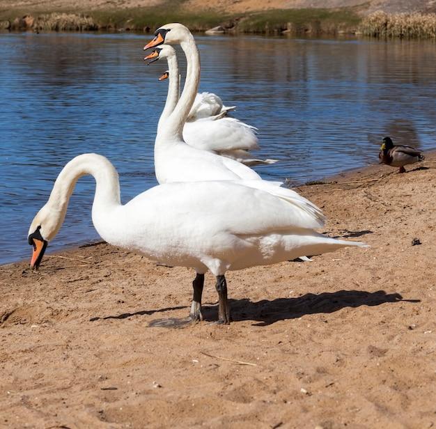 春の湖の美しい水鳥白鳥