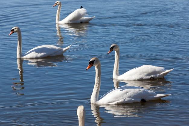 봄에 호수에 아름다운 물새 백조