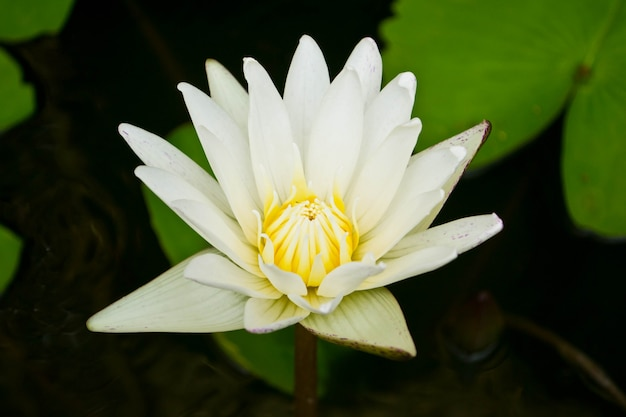 A beautiful waterlily or lotus flower