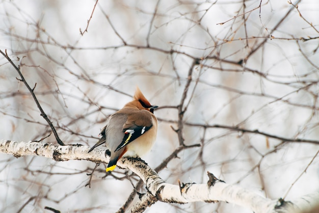 Beautiful waxwing sits on brunch of tree. colorful migratory songbird sing