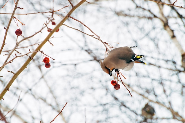 Beautiful waxwing sits on brunch of tree and eat berry.