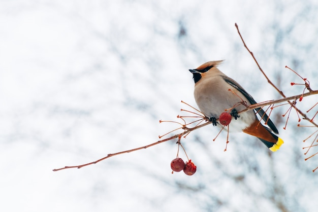 Beautiful waxwing sits on brunch of tree.