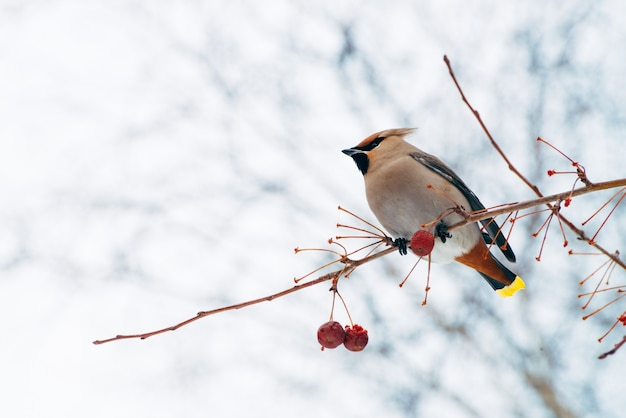Beautiful waxwing sits on brunch of tree