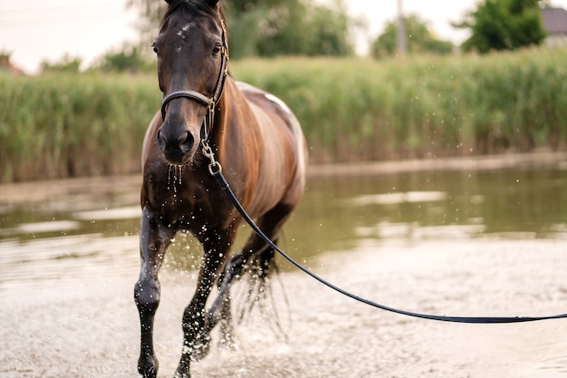 Beautiful well-groomed dark horse for a walk by the lake, a horse runs on water, strength and beauty